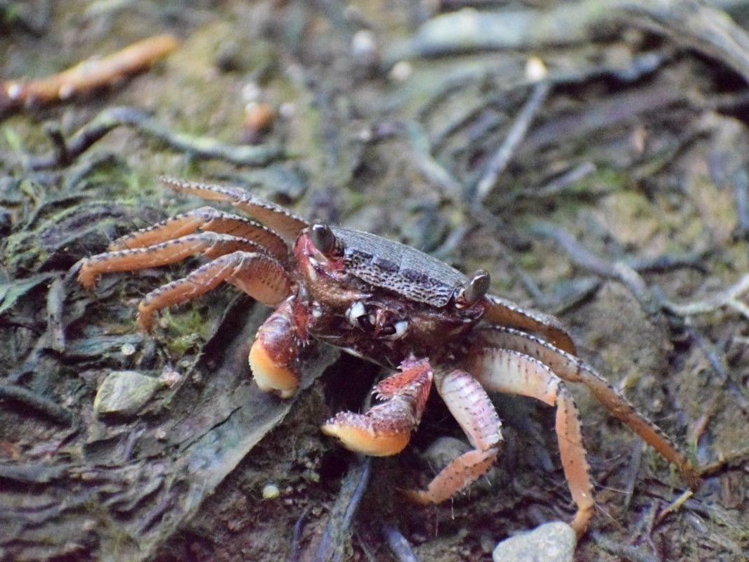 Terrestrial Crustacean