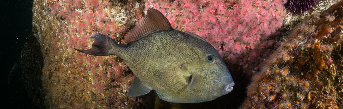 finescale trigger fish in habitat