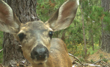 A deer investigates one of the wildlife cameras in Point Lobos