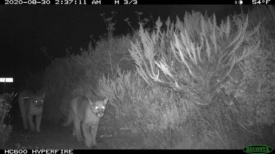 Mountain lions captured on one of the wildlife cameras Laura monitors